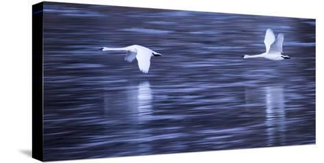 Tundra Swans in Flight Above the Mississippi River in Monticello, Minnesota-Michael Melford-Stretched Canvas Print
