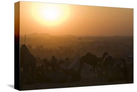 A Setting Sun and Silhouetted Camels at the Pushkar Camel Fair-Steve Winter-Stretched Canvas Print