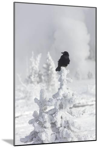 A Raven Sits Atop a Frost Covered Tree in Yellowstone-Robbie George-Mounted Photographic Print