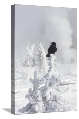 A Raven Sits Atop a Frost Covered Tree in Yellowstone-Robbie George-Stretched Canvas Print