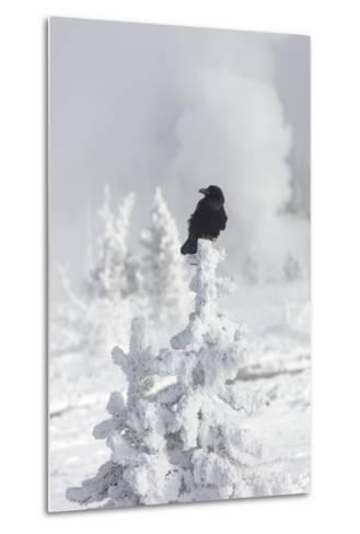 A Raven Sits Atop a Frost Covered Tree in Yellowstone-Robbie George-Metal Print