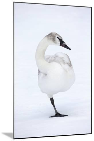 A Leucistic Trumpeter Swan, Cygnus Buccinator, Balances on One Leg-Robbie George-Mounted Photographic Print