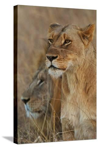 A Lion and Lioness Rest in the Grass at the Phinda Game Reserve-Steve Winter-Stretched Canvas Print
