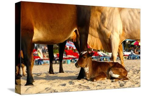 Young Cow, Bos Taurus, Relaxing at Baga Beach-Jill Schneider-Stretched Canvas Print