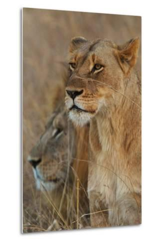 A Lion and Lioness Rest in the Grass at the Phinda Game Reserve-Steve Winter-Metal Print