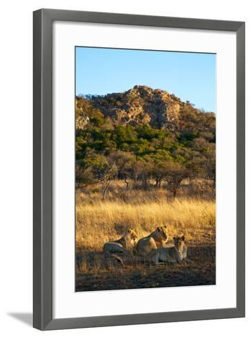 A Lioness and Her Cubs Rest in the Phinda Game Reserve-Steve Winter-Framed Art Print