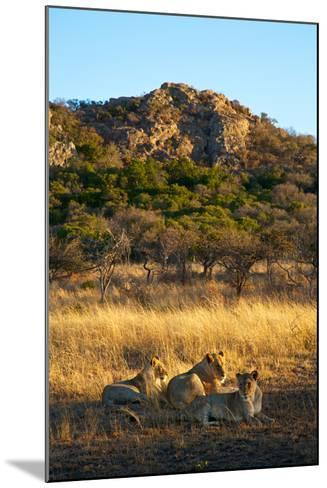 A Lioness and Her Cubs Rest in the Phinda Game Reserve-Steve Winter-Mounted Photographic Print