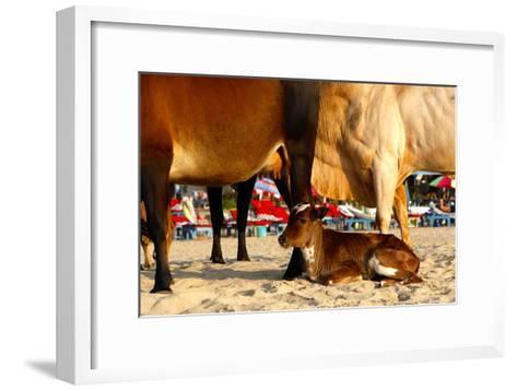 Young Cow, Bos Taurus, Relaxing at Baga Beach-Jill Schneider-Framed Art Print