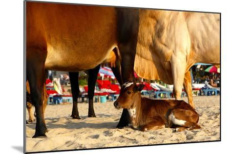 Young Cow, Bos Taurus, Relaxing at Baga Beach-Jill Schneider-Mounted Photographic Print