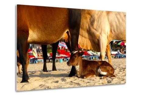 Young Cow, Bos Taurus, Relaxing at Baga Beach-Jill Schneider-Metal Print