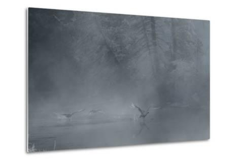 Birds Come in for a Landing on the Water's Surface-Charlie James-Metal Print