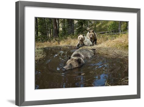 A Camera Trap Captures Grizzly Bears Bathing, Splashing, and Frolicking at a Water Hole-Joel Sartore-Framed Art Print