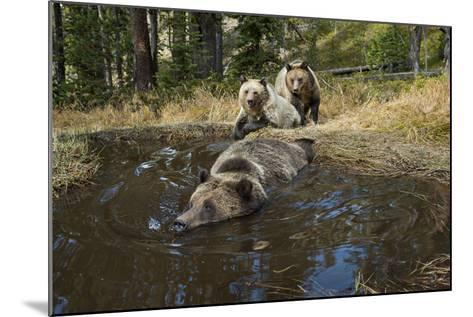 A Camera Trap Captures Grizzly Bears Bathing, Splashing, and Frolicking at a Water Hole-Joel Sartore-Mounted Photographic Print