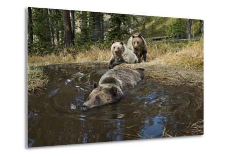 A Camera Trap Captures Grizzly Bears Bathing, Splashing, and Frolicking at a Water Hole-Joel Sartore-Metal Print