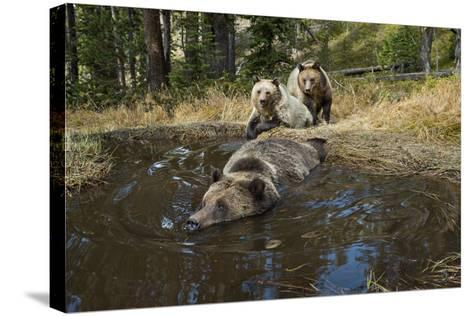 A Camera Trap Captures Grizzly Bears Bathing, Splashing, and Frolicking at a Water Hole-Joel Sartore-Stretched Canvas Print