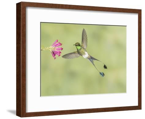 Male Booted Racket-Tail Hummingbird with Wings and Split Tail Spread Hovers at a Flower-Richard Seeley-Framed Art Print