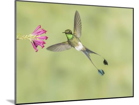 Male Booted Racket-Tail Hummingbird with Wings and Split Tail Spread Hovers at a Flower-Richard Seeley-Mounted Photographic Print