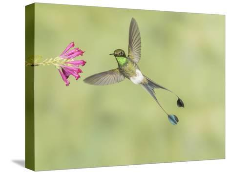 Male Booted Racket-Tail Hummingbird with Wings and Split Tail Spread Hovers at a Flower-Richard Seeley-Stretched Canvas Print