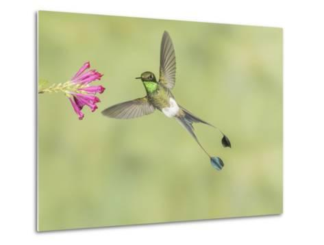 Male Booted Racket-Tail Hummingbird with Wings and Split Tail Spread Hovers at a Flower-Richard Seeley-Metal Print