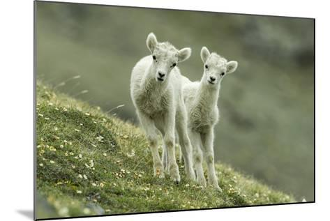 Two Dall's Sheep Lambs Walk on a High Meadow-Barrett Hedges-Mounted Photographic Print