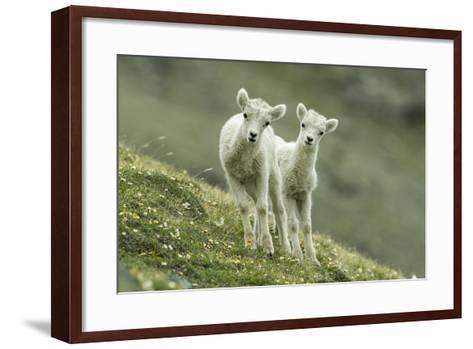Two Dall's Sheep Lambs Walk on a High Meadow-Barrett Hedges-Framed Art Print