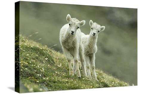 Two Dall's Sheep Lambs Walk on a High Meadow-Barrett Hedges-Stretched Canvas Print