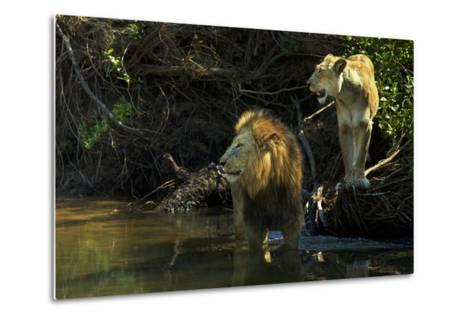 A Mating Pair of Lions at the River's Edge in South Africa's Sabi Sand Game Reserve-Steve Winter-Metal Print