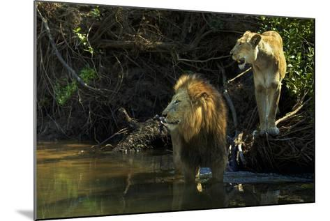 A Mating Pair of Lions at the River's Edge in South Africa's Sabi Sand Game Reserve-Steve Winter-Mounted Photographic Print