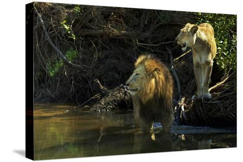 A Mating Pair of Lions at the River's Edge in South Africa's Sabi Sand Game Reserve-Steve Winter-Stretched Canvas Print
