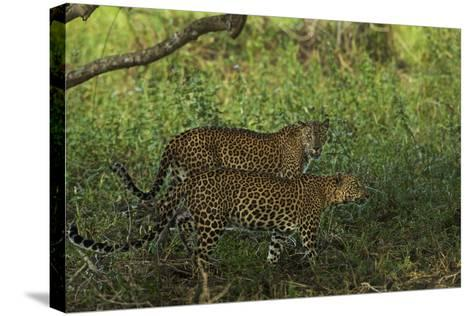 A Male and Female Leopard in Yala National Park-Steve Winter-Stretched Canvas Print