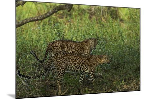 A Male and Female Leopard in Yala National Park-Steve Winter-Mounted Photographic Print