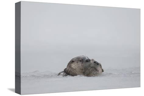 North American River Otters Swim in the Snake River in Grand Teton National Park-Charlie James-Stretched Canvas Print