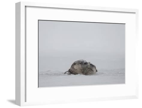 North American River Otters Swim in the Snake River in Grand Teton National Park-Charlie James-Framed Art Print