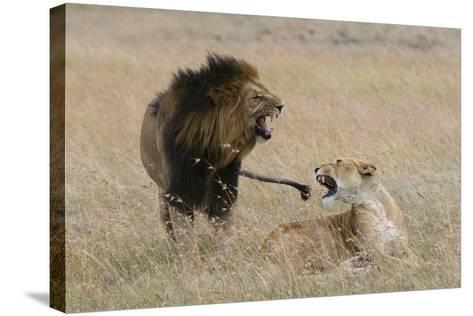 Lions, Panthera Leo, Masai Mara, Kenya-Sergio Pitamitz-Stretched Canvas Print
