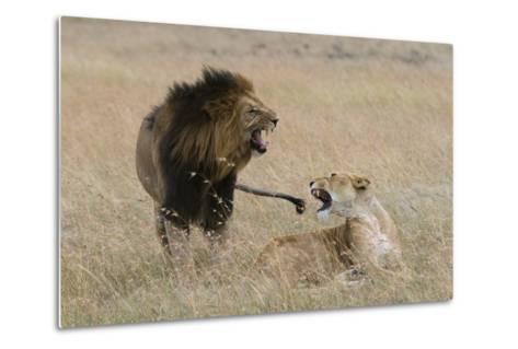 Lions, Panthera Leo, Masai Mara, Kenya-Sergio Pitamitz-Metal Print