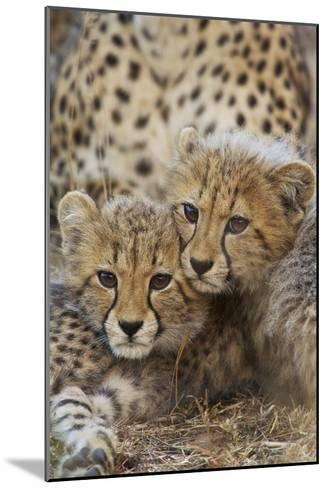 A Pair of Cheetah Cubs, Acinonyx Jubatus, in Phinda Game Reserve, South Africa-Steve Winter-Mounted Photographic Print