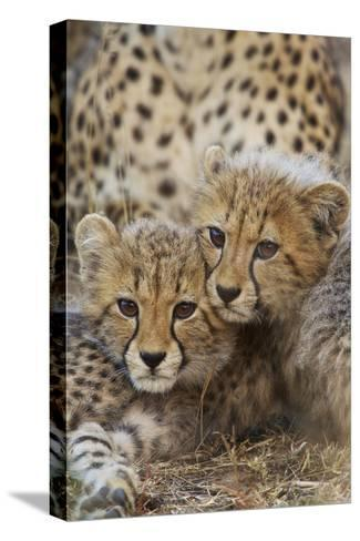 A Pair of Cheetah Cubs, Acinonyx Jubatus, in Phinda Game Reserve, South Africa-Steve Winter-Stretched Canvas Print