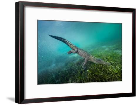 A Submerged American Crocodile, Crocodiles Acutus, Swims Above a Bed of Turtle Grass-David Doubilet-Framed Art Print