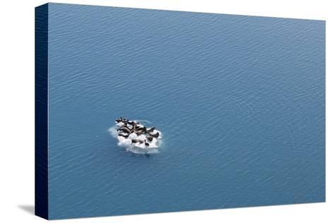 Seals, Phocidae, Sunbathing on an Iceberg in the Kenai Peninsula-Jill Schneider-Stretched Canvas Print