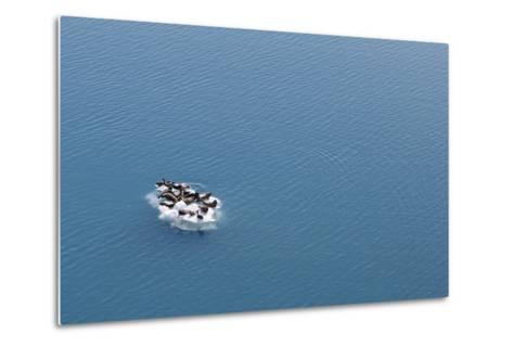 Seals, Phocidae, Sunbathing on an Iceberg in the Kenai Peninsula-Jill Schneider-Metal Print