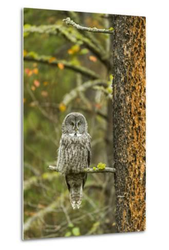 A Great Grey Owl Rests During the Day on a Large Tree-Barrett Hedges-Metal Print