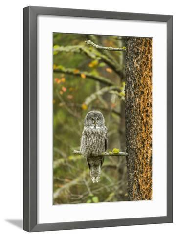 A Great Grey Owl Rests During the Day on a Large Tree-Barrett Hedges-Framed Art Print
