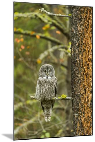 A Great Grey Owl Rests During the Day on a Large Tree-Barrett Hedges-Mounted Photographic Print