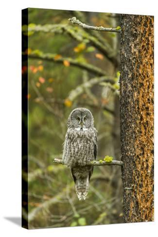 A Great Grey Owl Rests During the Day on a Large Tree-Barrett Hedges-Stretched Canvas Print