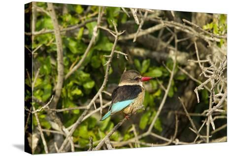 A Brown-Hooded Kingfisher, Halcyon Albiventris, Perches on a Tree Branch-Steve Winter-Stretched Canvas Print