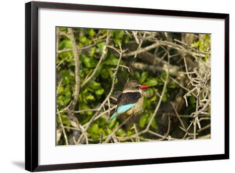 A Brown-Hooded Kingfisher, Halcyon Albiventris, Perches on a Tree Branch-Steve Winter-Framed Art Print