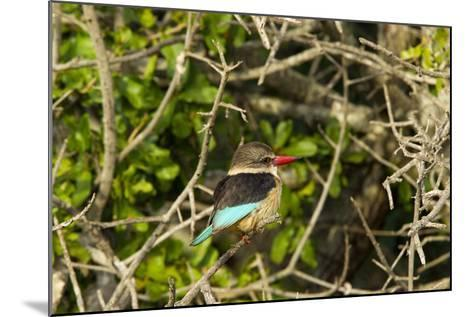 A Brown-Hooded Kingfisher, Halcyon Albiventris, Perches on a Tree Branch-Steve Winter-Mounted Photographic Print