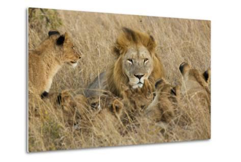 A Lion Pride Rests in the Grasslands of the Phinda Game Reserve-Steve Winter-Metal Print