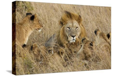 A Lion Pride Rests in the Grasslands of the Phinda Game Reserve-Steve Winter-Stretched Canvas Print