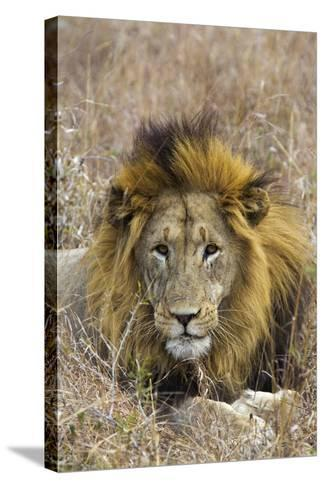 A Male Lion Rests in Grass at the Phinda Game Reserve-Steve Winter-Stretched Canvas Print